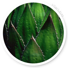 extract agave