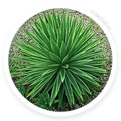 yucca planta